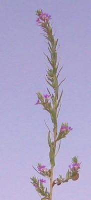 שנית מתפתלת Lythrum junceum Banks & Sol.