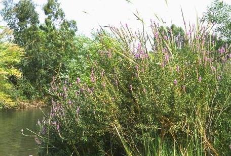 שנית גדולה Lythrum salicaria L.