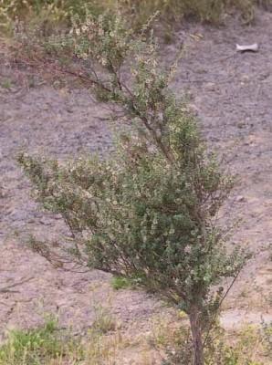 מאירית קצרת-עלים Maireana brevifolia (R.Br.) P.G.Wilson