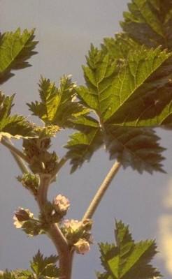 חלמית חדת-אונות Malva oxyloba Boiss.