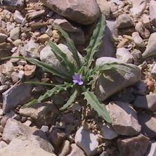 מנתור קטן-פרחים Matthiola parviflora (Schousb.) R.Br.