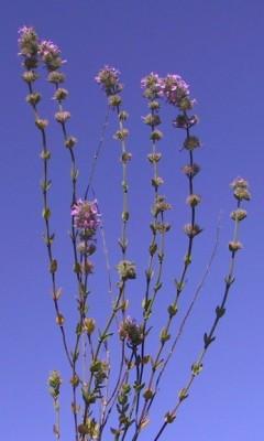 זוטה מעורקת Micromeria nervosa Desf.