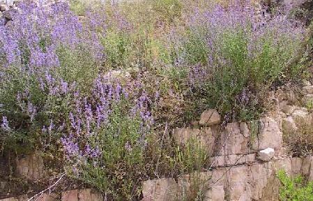 נפית כפופה Nepeta curviflora Boiss.