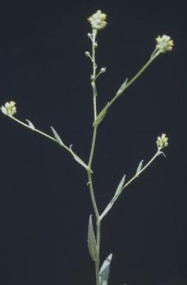 רשתון השדות Neslia apiculata Fisch., C.A.Mey. &  Ave-Lall.