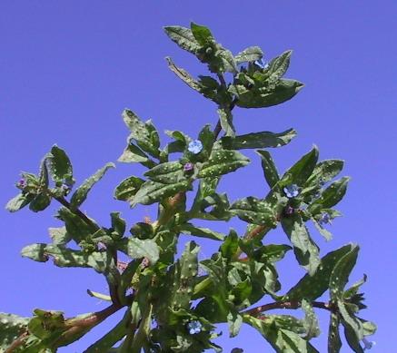 נוניאה קהה Nonea obtusifolia (Willd.) DC.