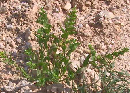 נוניאה פלשתית Nonea philistaea Boiss.