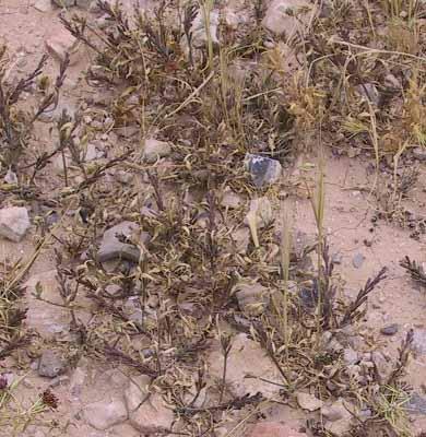 דו-קרן מדברית Notoceras bicorne (Aiton) Amo