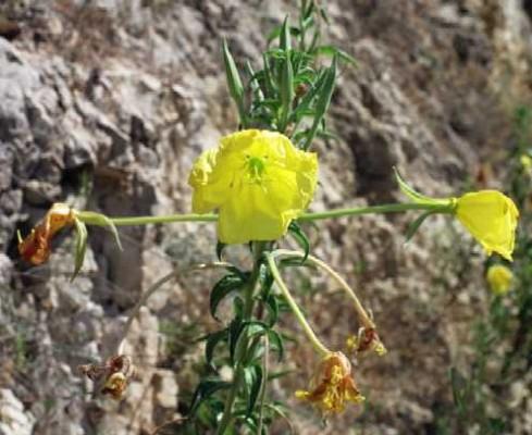 נר-הלילה הדו-שנתי Oenothera biennis L.