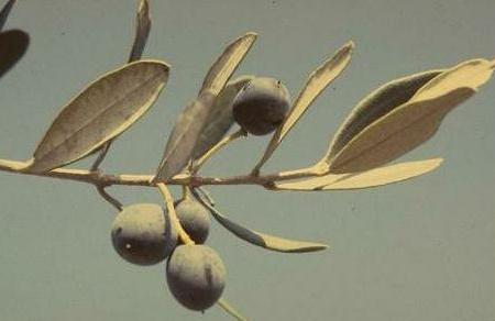 זית אירופי Olea europaea L.
