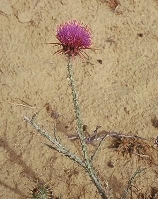 חוחן אלכסנדרוני Onopordum alexandrinum Boiss.