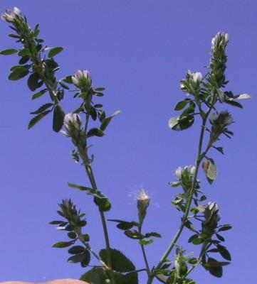 שברק מלבין Ononis mitissima L.