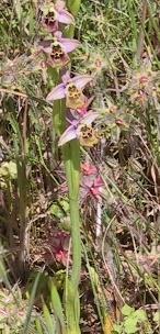 דבורנית גדולה Ophrys holosericea (Burm.f.) Greuter