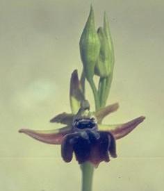דבורנית הקטיפה Ophrys sphegodes Mill.