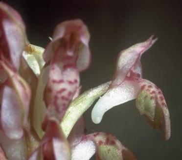 Orchis coriophora L.