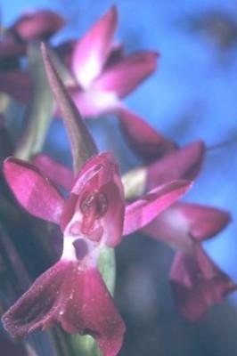 סחלב הביצות Orchis laxiflora Lam.