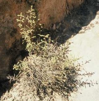 Origanum jordanicum Danin & Kuenne