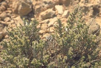 אזובית רמון Origanum ramonense Danin