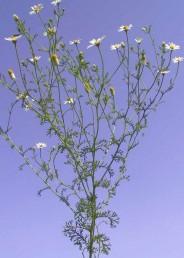 עשבים חד-שנתיים הדומים לקחוון ונבדלים ממנו בצורת הכותרת. העלים גזורים-מנוצים לאונות נימיות.