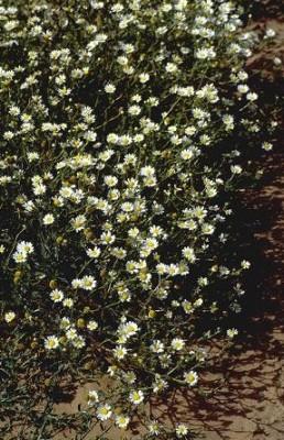 קחוונית מצויה Ormenis mixta (L.) Dumort.