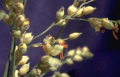 דוחן אשון Panicum turgidum Forssk.