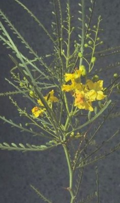 פרקינסוניה שיכנית Parkinsonia aculeata L.
