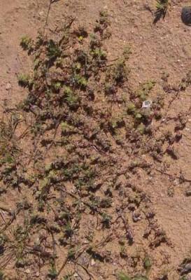אלמוות ערבי Paronychia arabica (L.) DC.