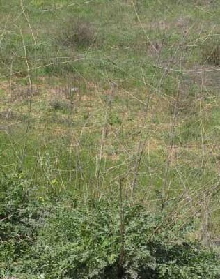 אחישבת ענף Peucedanum junceum (Boiss.) Mouterde