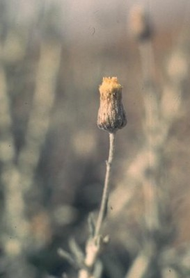 Phagnalon barbeyanum Asch. & Schweinf.
