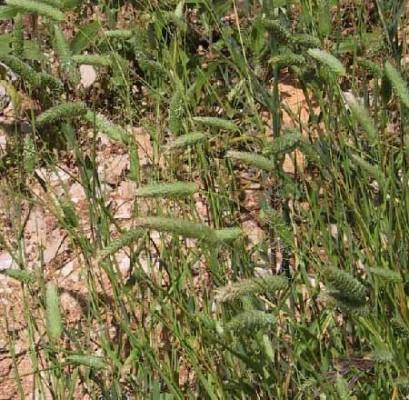 חפורית מצויה Phalaris brachystachys Link