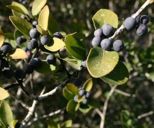 הפרי בית-גלעין שחור-כחלחל (מכוסה שעווה), אורכו קטן מ-1 ס