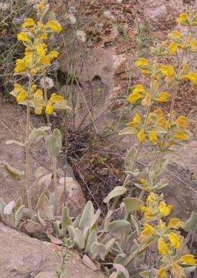 שלהבית קצרת-שיניים Phlomis brachyodon (Boiss.) Zohary