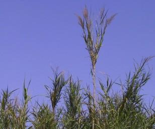 הקנים חיים לפחות שנתיים ומסתעפים בחלקים עליונים, עלי הסעיפים קוצניים.