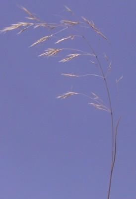 בשנית עדינה Pilgerochloa blanchei (Boiss.) Eig