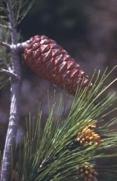 האיצטרובלים הבוגרים פונים בזווית חדה אל בסיס הענף.