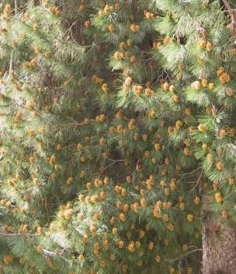 Pinus halepensis Mill.