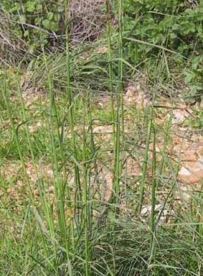 נשרן שעיר Piptatherum holciforme (M.Bieb.) Roem. & Schult.