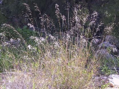 נשרן הדוחן Piptatherum miliaceum (L.) Coss.