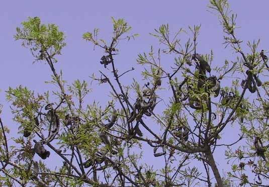 Pistacia terebinthus L.