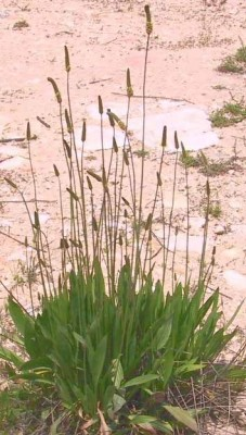 לחך אזמלני Plantago lanceolata L.