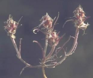 החפים שבאמצע התפרחת בולטים מתוך התפרחת (כמו החפים התחתונים), נימיים. רוחב העלים 1-0.5 מ