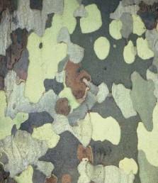 קליפת הגזע מתקלפת ומותירה גזע בעל כתמי צבע שונים.
