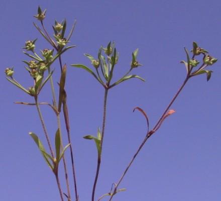 לחך בשרני Plantago sarcophylla Zohary