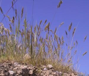צמחים היוצרים מעין כרי-דשא במפנים צפוניים של מדבר יהודה והנגב.