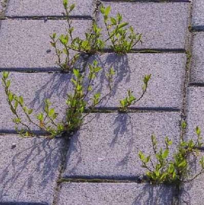 ארכובית צרת-עלים Polygonum aviculare L.
