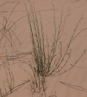 ארכובית ארץ-ישראלית Polygonum palaestinum Zohary