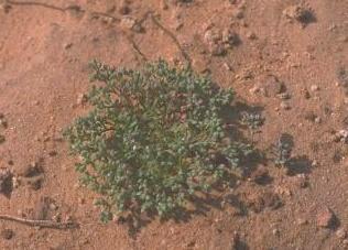 רב-פרי מצוי Polycarpon tetraphyllum (L.) L.