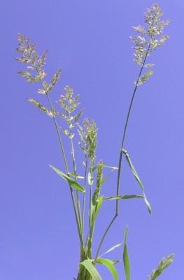 עבדקן הדורים Polypogon viridis (Gouan) Breistr.