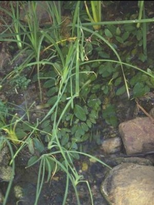 נהרונית צפה Potamogeton nodosus Poir.