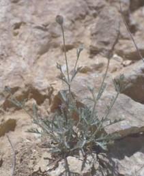 בני-שיח דביקים מכוסים בשערות ; בהשפעתן צבע הצמח מאפיר. גדלים בסדקי סלעים בהר הנגב הגבוה.