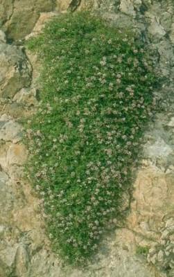 פואנית איטלקית Putoria calabrica (L.f.) Pers.